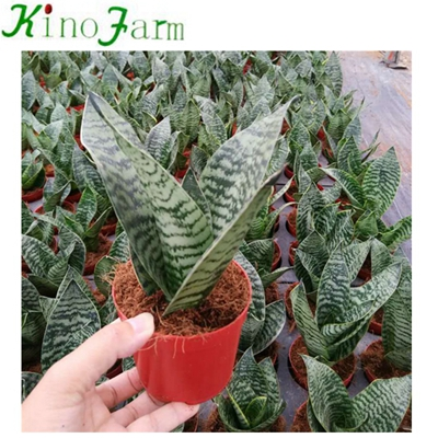 Green Hahnii Small Size Potted Snake Plant
