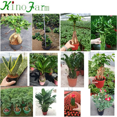 Hot Sell Indoor Plant Money Tree Pachira