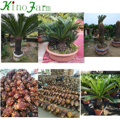 Natural Plant Small Cycas Palm