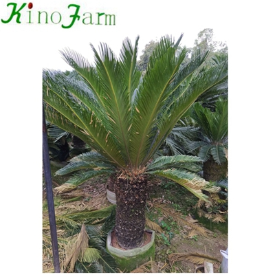 Wholesasle Natural Plant Cycas Palm