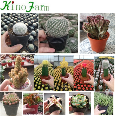 بالجملة Nautral Plant Cactus Varieties