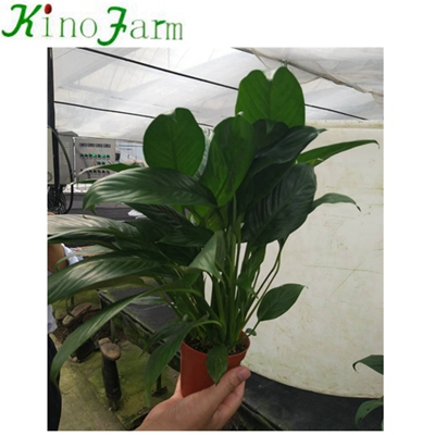 Natural Plant Indoor Plant زنبق السلام