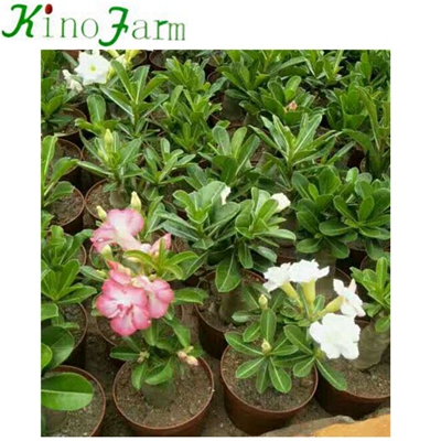 Natural Plant Indoor Plant Desert Rose