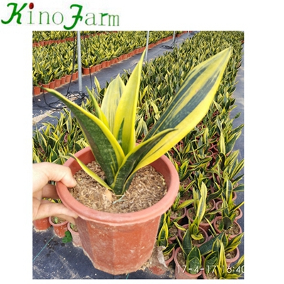 Whosales Golden Sansevieria ثعبان النبات