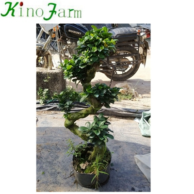 Natural S Shape bonsai plants for sale