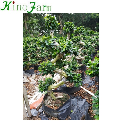 China Ficus Ficus Bonsai Supplies