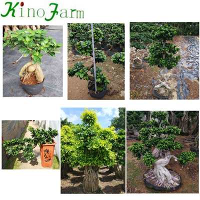Natural Plant Ficus Cage Ficus Microcarpa Bonsai