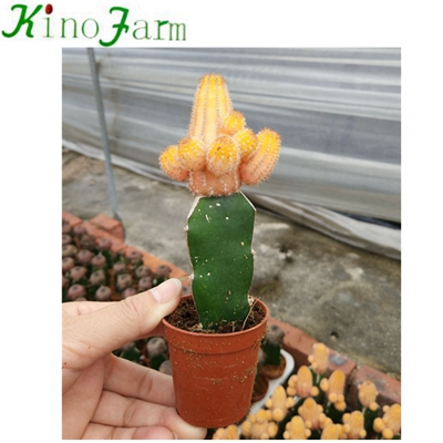 بالجملة Nautral Plant Cactus Flower