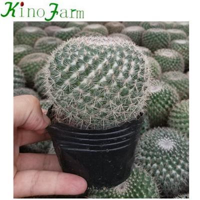 بالجملة Cactus House Plants