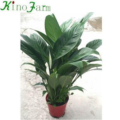 Natural Plant Indoor Plant Peace Lily