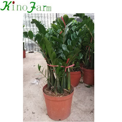 Natural Indoor Plant Zamioculcas