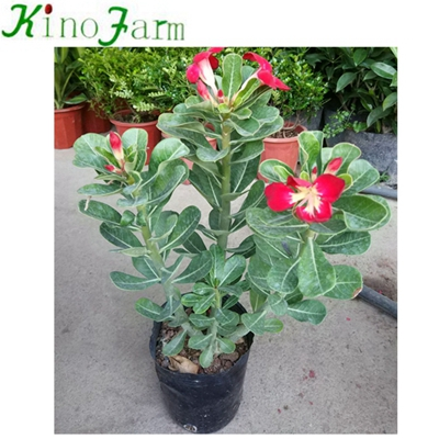 Natural Adenium Desert Rose Plant