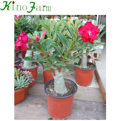 China Adenium Desert Rose For Sale