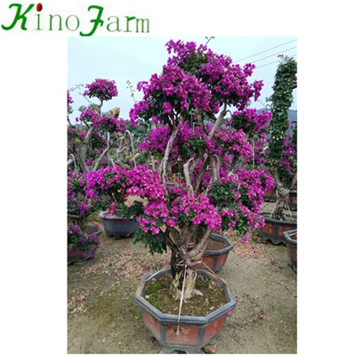 Outdoor Plant Bonsai Bougainvillea Tree