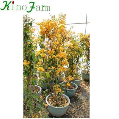 Whosale Natural Plant Outdoor Bougainvillea