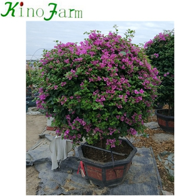 Natural Plant Outdoor Bougainvillea Tree