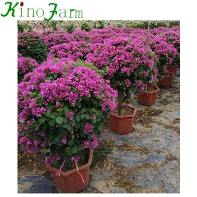 Natural Outdoor Bougainvillea Plant