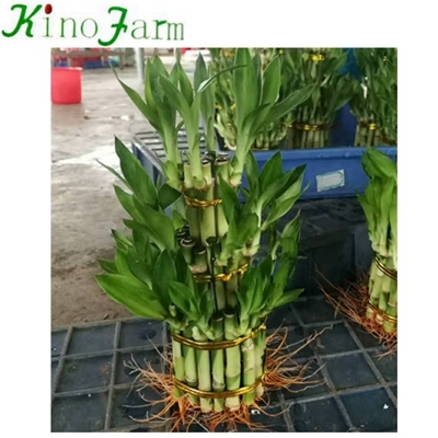 water bamboo plant