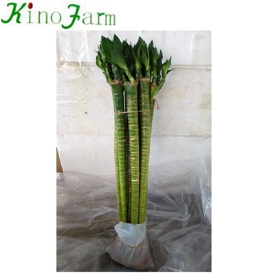 Lotus Lucky Bamboo