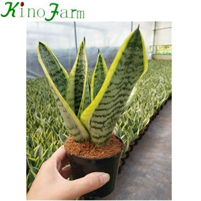 sansevieria trifasciata for sale