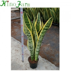 sansevieria plants for sale