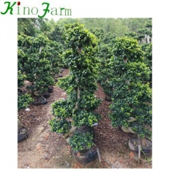 ficus tree for sale