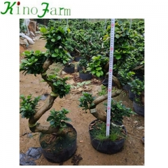 different types of bonsai trees s ficus