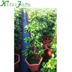 Natural Plant Ficus Microcarpa