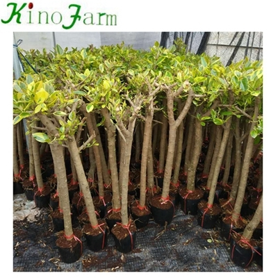 outdoor real bonsai plants for sale