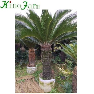 revoluta cycad for sale