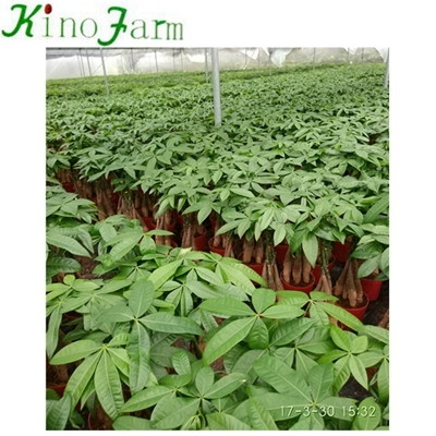 Money Tree Pachira Plant