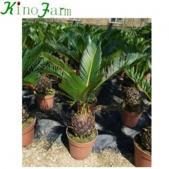 cycad king sago palm trees
