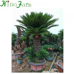 Natural Plant sago palm tree