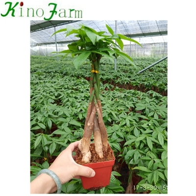 5 Braided pachira money tree