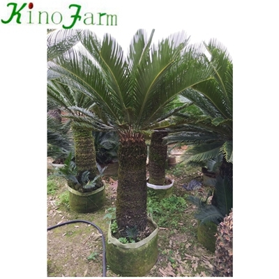 cycad king sago palm trees for sale