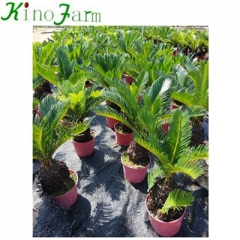 sago palm trees for sale