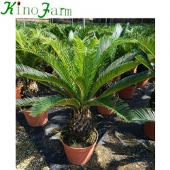 king sago palm for sale