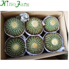 wholesale Natural Indoor Cactus