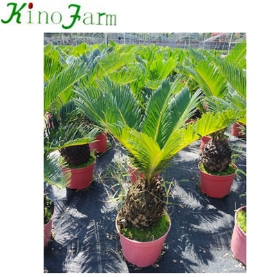 sago palm nursery