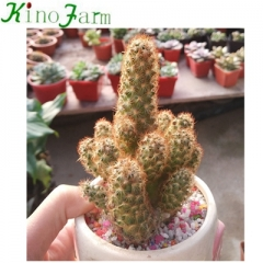 wholesale Natural cactus plants