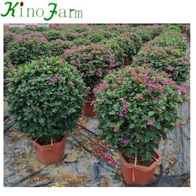bougainvillea trees for sale