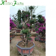 bougainvillea tree for sale