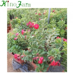 China Adenium Desert Rose